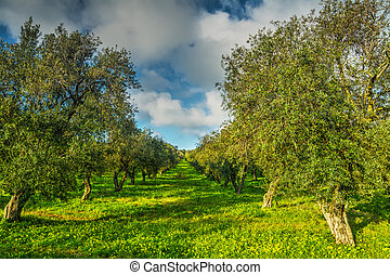 Olive trees in a green meadow in Sardinia