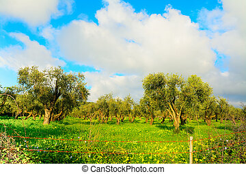 Olive trees in a green meadow
