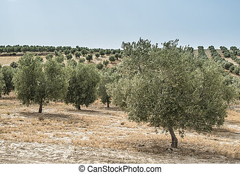 Olive trees in a row