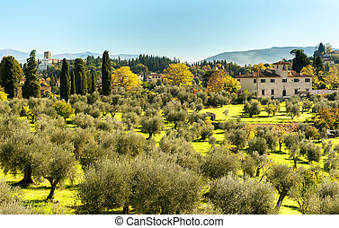Olive trees in Florence in autumn on a sunny day
