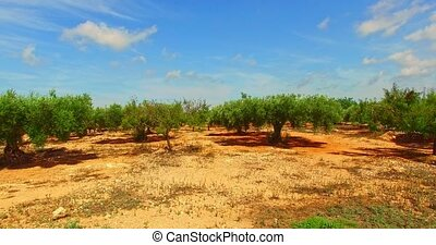 Olive trees in grove - Olive trees growing in grove....