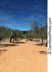 Olive Trees in spain