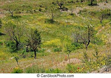 Olive trees in Springtime, Almeria.