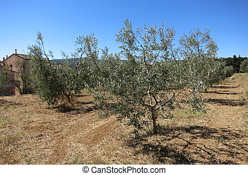 Olive Trees in Tuscany on a Sunny Day