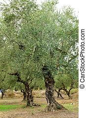 Olive trees in Zakynthos island, Greece