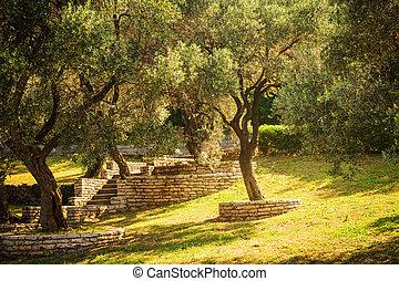 Olive trees. Mediterranean garden in the morning