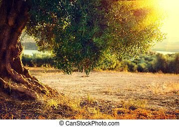 Olive trees. Plantation of olive trees at sunset. ...