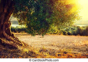 Olive trees. Plantation of olive trees at sunset. Mediterranean