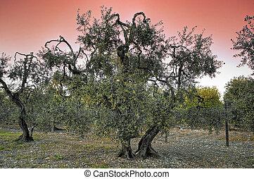 olive-trees, sunset.