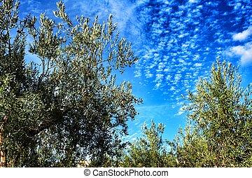 Olive trees under Blue sky in Chelva