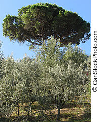 Olive trees with pine tree as background