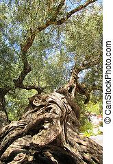 olive, uralt, baum