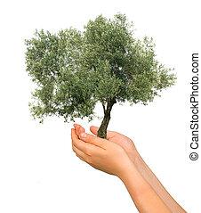 oliveira, como, um, presente, de, agricultura