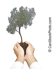 oliveira, em, mãos, como, um, presente