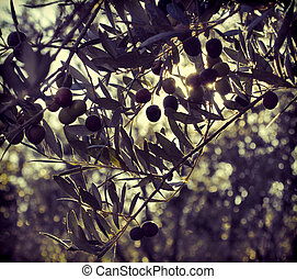 oliveira, ramo