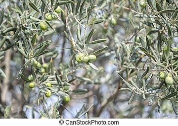 oliven, baum, wachsen