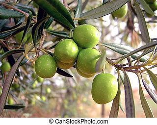 oliven, hängender