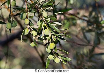 oliven, nach, junger, regen, zweig