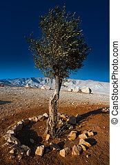oliven træ