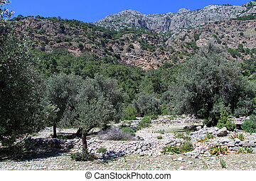 olivenbäume