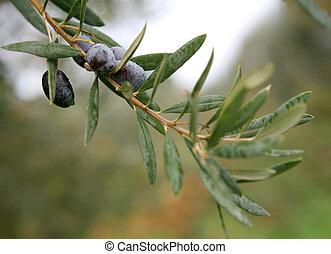 olivenzweige, 2
