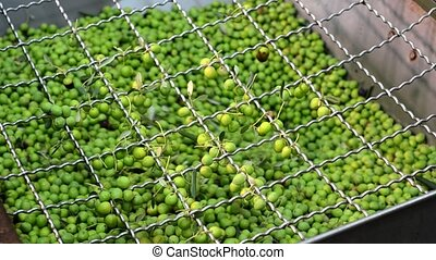 olives being processed in mill