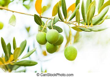 olives, branche arbre