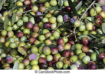 olives - collection of green olive trees in crop fields