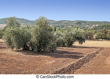 Olives fields