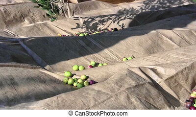 Olives fruits fall to the ground