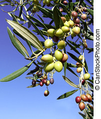 Olives growing on branch in Greece with sky behind