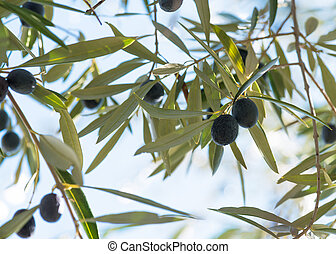 Olives hanging on a trees in southen spain
