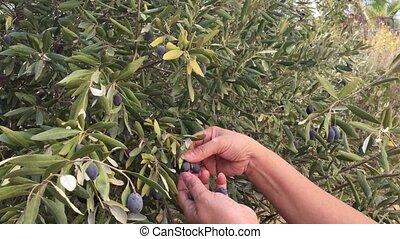 Olives Harvest - A female harvesting black olives manually ...