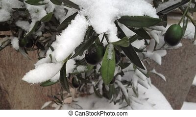 Olives in snow at winter