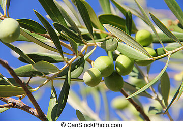 Olives on a branch