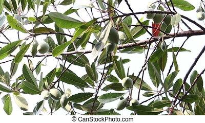 olives on a branch, elaeocarpus hygrophilus, dolly shot