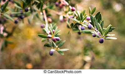 Olives on a branch.