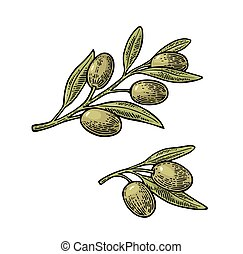 Olives on branch with leaves . Vintage vector engraving