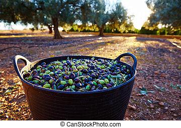 olives, récolte, cueillette, dans, paysan, panier