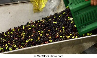 Olives ready for oil extraction