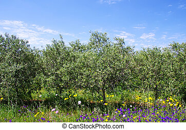 Olives tree at portuguese field
