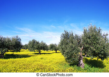 Olives tree in a field of yellow flowers, Portugal