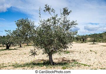 olivier olive lumi re arbre matin photo de stock rechercher photographies et de photos. Black Bedroom Furniture Sets. Home Design Ideas