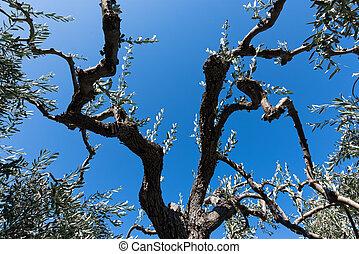 olivier jeune arbre isol petit olive verte blanc. Black Bedroom Furniture Sets. Home Design Ideas