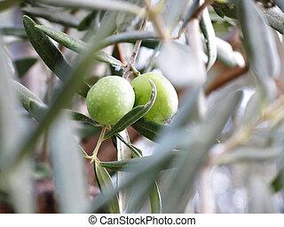olivo, primer plano