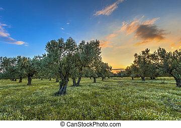 olivové barvy lesík, v, východ slunce