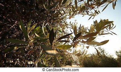 oliwka, drzewa, w, grecja