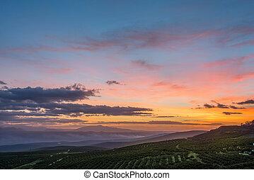 oliwka, pola, wschód słońca