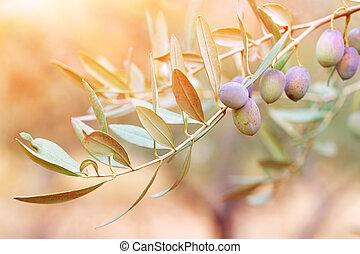 oliwne drzewo, gałąź