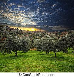 oliwne drzewo, tło